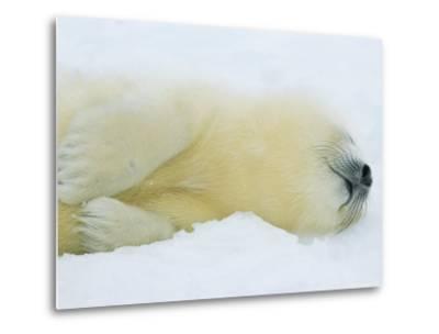 Harp Seal Pup Sleeps in the Snow-Norbert Rosing-Metal Print