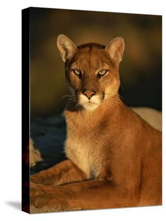 Portrait of a Mountain Lion-Norbert Rosing-Stretched Canvas Print
