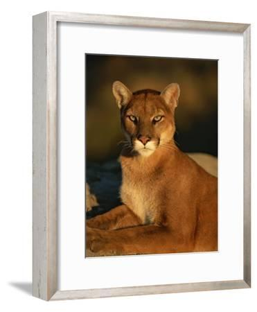 Portrait of a Mountain Lion-Norbert Rosing-Framed Photographic Print