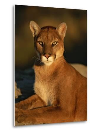Portrait of a Mountain Lion-Norbert Rosing-Metal Print