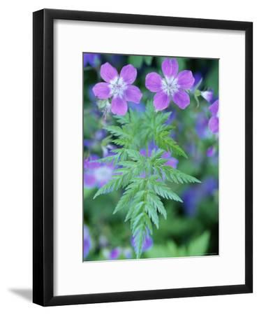 Close View of a Herb Robert Geranium-Norbert Rosing-Framed Photographic Print