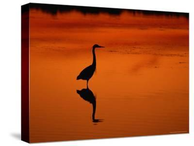 Silhouette of a Great Blue Heron Standing in the Water at Twilight-Norbert Rosing-Stretched Canvas Print