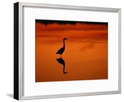 Silhouette of a Great Blue Heron Standing in the Water at Twilight-Norbert Rosing-Framed Photographic Print