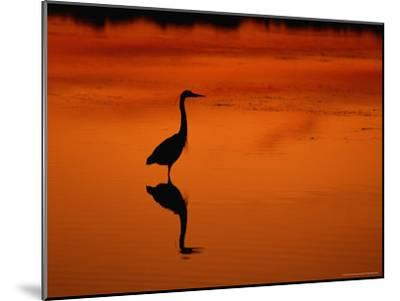 Silhouette of a Great Blue Heron Standing in the Water at Twilight-Norbert Rosing-Mounted Photographic Print