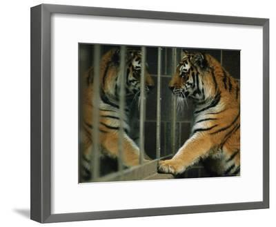 Siberian Tiger Looks at Its Reflection in a Mirror-Joel Sartore-Framed Photographic Print