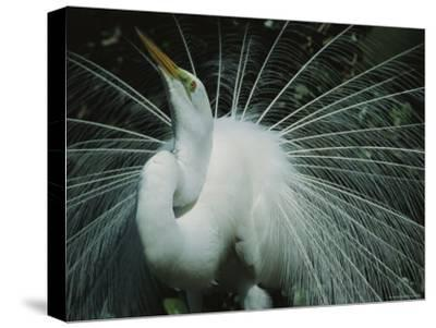 Great Egret, Breeding Display, Florida-Roy Toft-Stretched Canvas Print
