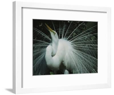 Great Egret, Breeding Display, Florida-Roy Toft-Framed Photographic Print