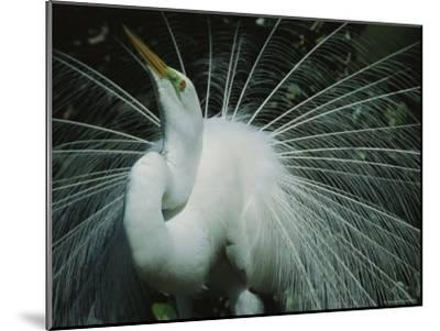Great Egret, Breeding Display, Florida-Roy Toft-Mounted Photographic Print