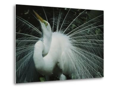 Great Egret, Breeding Display, Florida-Roy Toft-Metal Print