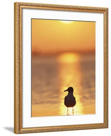 Laughing Gull, Florida-Roy Toft-Framed Premium Photographic Print