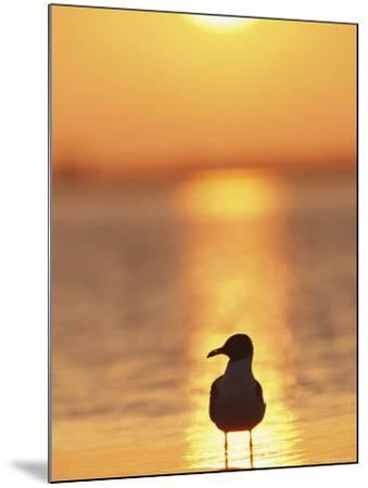 Laughing Gull, Florida-Roy Toft-Mounted Premium Photographic Print