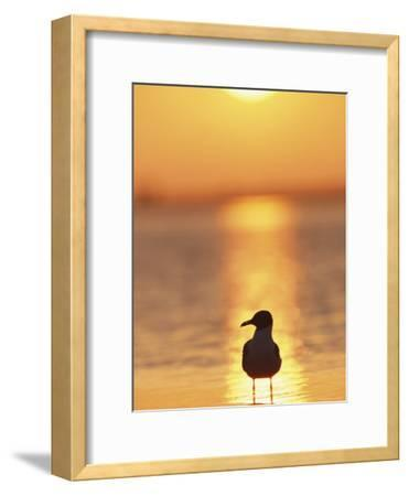 Laughing Gull, Florida-Roy Toft-Framed Photographic Print