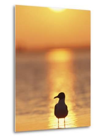 Laughing Gull, Florida-Roy Toft-Metal Print