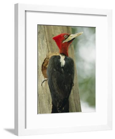 Robust Woodpecker, Iguazu National Park-Roy Toft-Framed Photographic Print