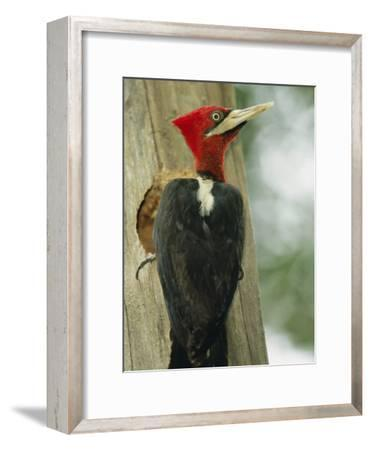 Robust Woodpecker, Iguazu National Park-Roy Toft-Framed Photographic Print