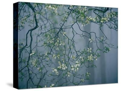 Dogwood Blossoms in a Foggy Forest-Raymond Gehman-Stretched Canvas Print