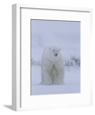 Portrait of a Polar Bear, Ursus Maritimus, in a Snow Storm-Norbert Rosing-Framed Photographic Print