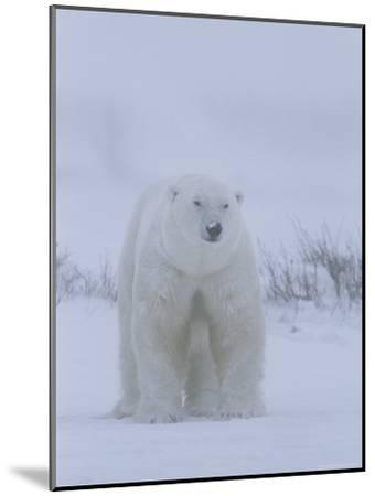 Portrait of a Polar Bear, Ursus Maritimus, in a Snow Storm-Norbert Rosing-Mounted Photographic Print
