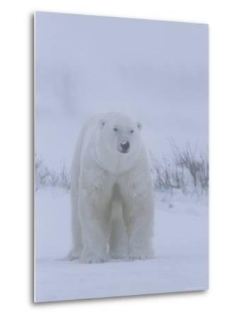 Portrait of a Polar Bear, Ursus Maritimus, in a Snow Storm-Norbert Rosing-Metal Print