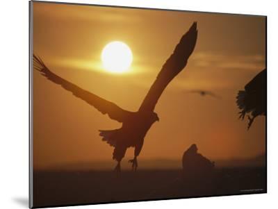 Endangered White-Tailed Sea Eagle Taking a Twilight Flight-Tim Laman-Mounted Photographic Print