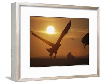 Endangered White-Tailed Sea Eagle Taking a Twilight Flight-Tim Laman-Framed Photographic Print