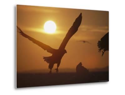 Endangered White-Tailed Sea Eagle Taking a Twilight Flight-Tim Laman-Metal Print