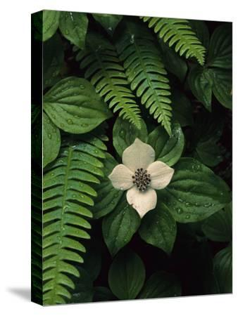 Bunchberry Flower Framed by Ferns-Melissa Farlow-Stretched Canvas Print