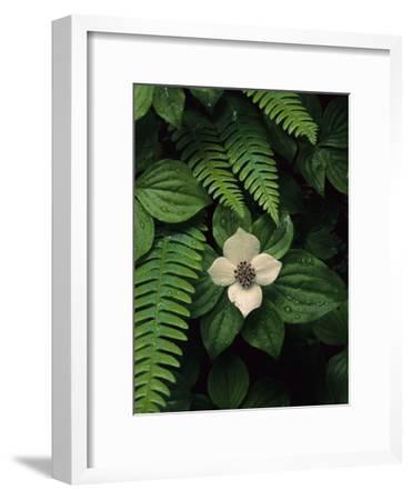 Bunchberry Flower Framed by Ferns-Melissa Farlow-Framed Premium Photographic Print