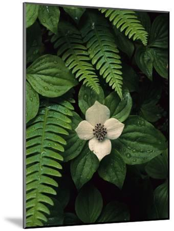 Bunchberry Flower Framed by Ferns-Melissa Farlow-Mounted Premium Photographic Print