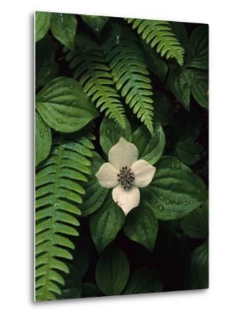 Bunchberry Flower Framed by Ferns-Melissa Farlow-Metal Print