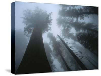 Skyward View of Giant Sequoia Trees in the Fog-Peter Carsten-Stretched Canvas Print