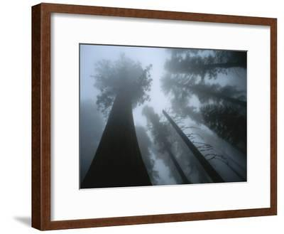Skyward View of Giant Sequoia Trees in the Fog-Peter Carsten-Framed Photographic Print