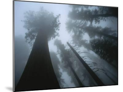 Skyward View of Giant Sequoia Trees in the Fog-Peter Carsten-Mounted Photographic Print