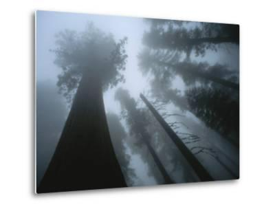 Skyward View of Giant Sequoia Trees in the Fog-Peter Carsten-Metal Print