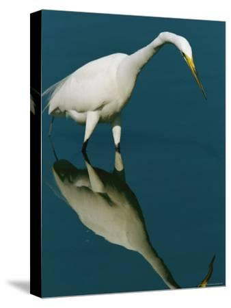 Great Egret Hunting in Calm Water-Tim Laman-Stretched Canvas Print