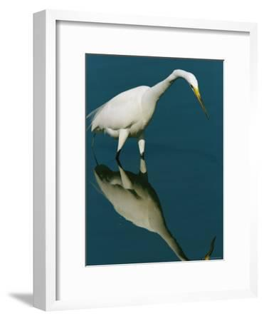 Great Egret Hunting in Calm Water-Tim Laman-Framed Photographic Print