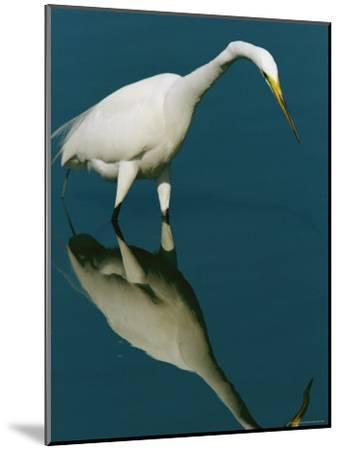 Great Egret Hunting in Calm Water-Tim Laman-Mounted Photographic Print