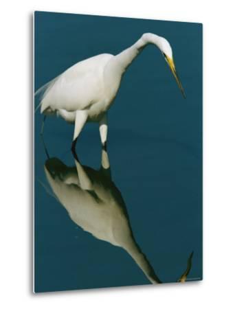 Great Egret Hunting in Calm Water-Tim Laman-Metal Print