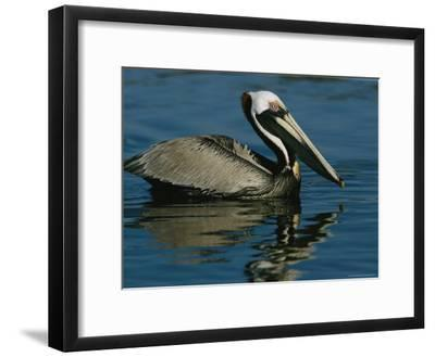 Brown Pelican Floating Calmly on the Water's Surface-Tim Laman-Framed Photographic Print