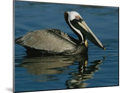 Brown Pelican Floating Calmly on the Water's Surface-Tim Laman-Mounted Photographic Print