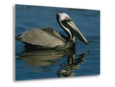 Brown Pelican Floating Calmly on the Water's Surface-Tim Laman-Metal Print