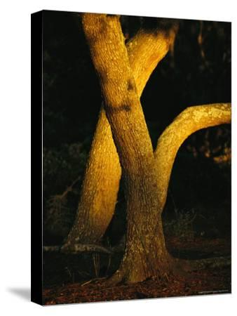 Sunlight on Live Oak Tree Trunks-Raymond Gehman-Stretched Canvas Print