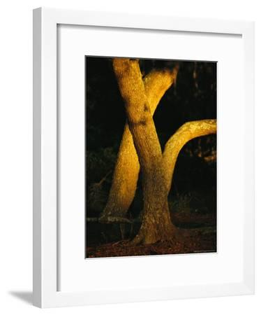 Sunlight on Live Oak Tree Trunks-Raymond Gehman-Framed Photographic Print