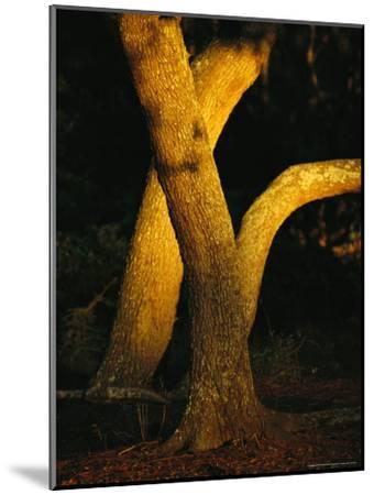 Sunlight on Live Oak Tree Trunks-Raymond Gehman-Mounted Photographic Print