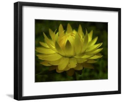 Close-up of a Straw Cactus Flower-White & Petteway-Framed Photographic Print