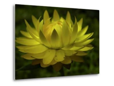 Close-up of a Straw Cactus Flower-White & Petteway-Metal Print