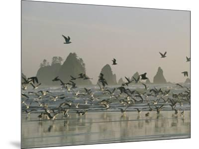 Flock of Gulls on a Beach with Sea Stacks-Melissa Farlow-Mounted Photographic Print