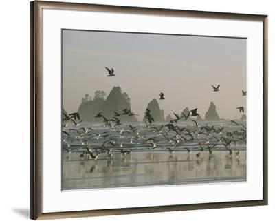 Flock of Gulls on a Beach with Sea Stacks-Melissa Farlow-Framed Photographic Print