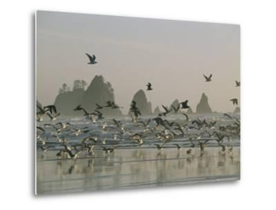 Flock of Gulls on a Beach with Sea Stacks-Melissa Farlow-Metal Print