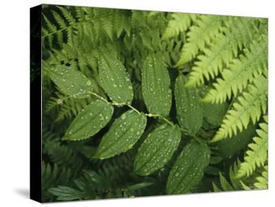 Close Up Detail of a Fern Frond and Vining Plant-Melissa Farlow-Stretched Canvas Print